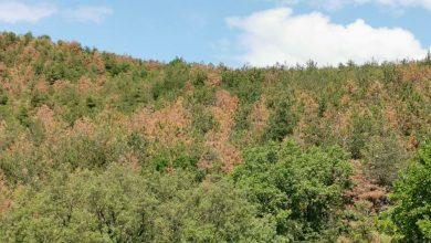 Κιλκίς: Τεράστια καταστροφή - Έντομο έχει καταστρέψει δεκαπλάσια έκταση του Σέιχ Σου